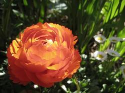 ラナンキュラスが咲きました