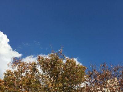 色づいた樹々の葉と白い雲が重なり合う青空