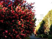 山茶花の咲く遊歩道