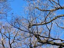 青空と冬木立