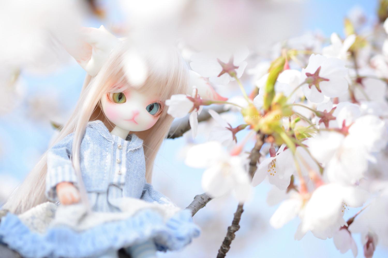 桜とミニキティ
