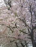 090505sakura2.jpg