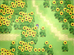 向日葵が美しいです