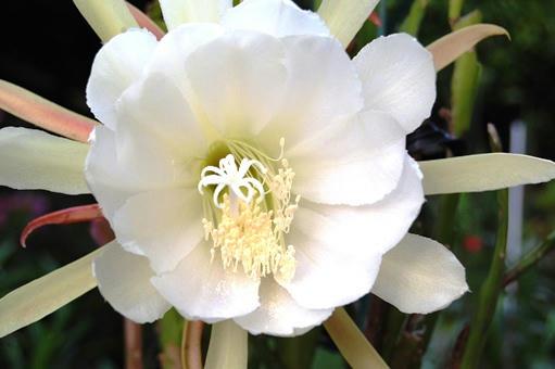 白い孔雀サボテン