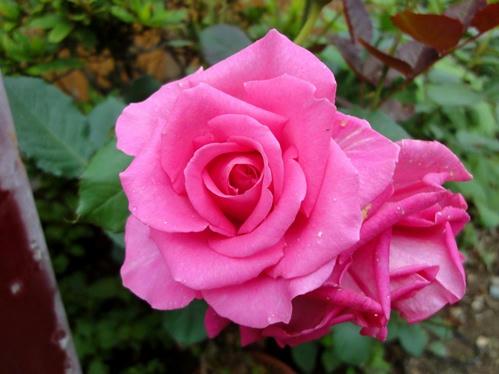 濃いピンクの薔薇