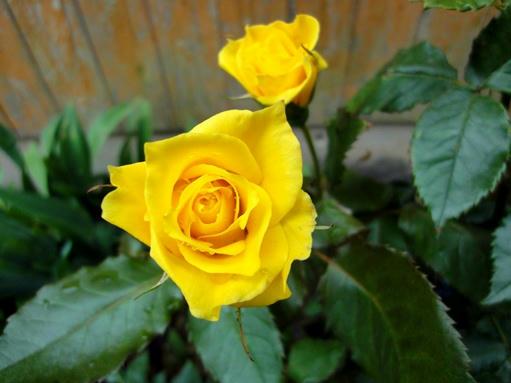 黄色の薔薇の蕾