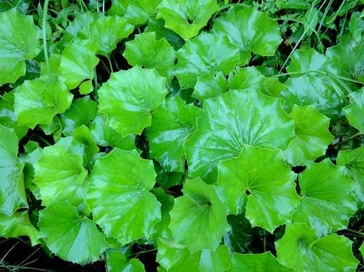 ツワブキの葉