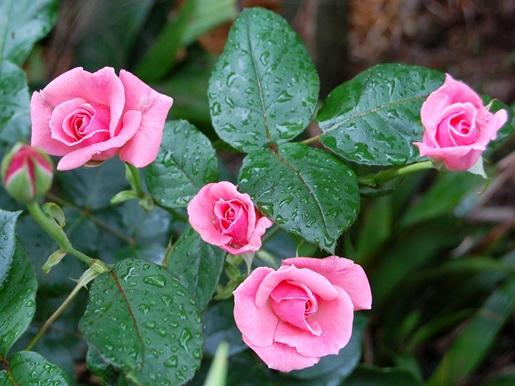 薄ピンクの薔薇 蕾