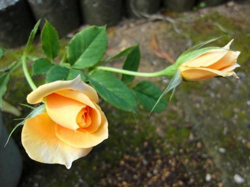 オレンジの薔薇 蕾