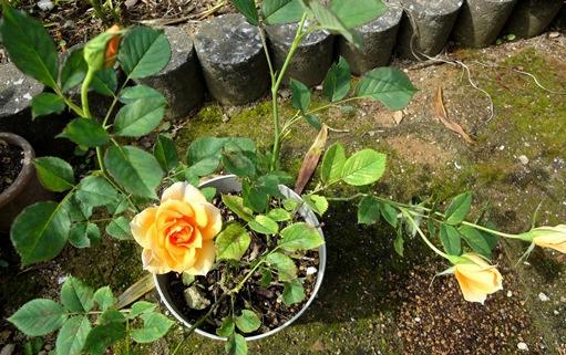 オレンジの薔薇 全体