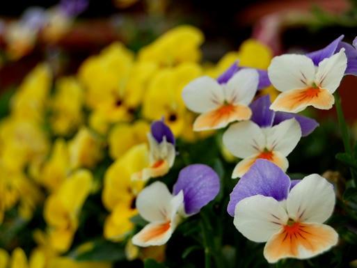黄&薄紫色のビオラ