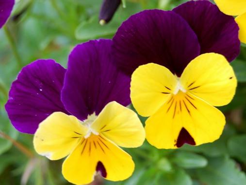 黄&紫色ビオラ