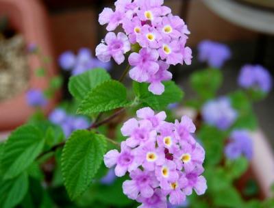 ランタナ 薄紫