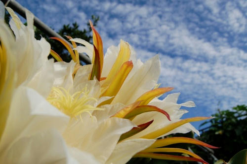 空とドラゴンフルーツの花