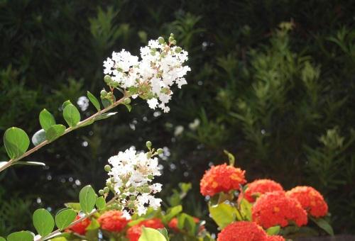 サンダンカ&サルスベリ