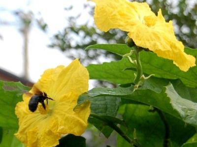 ヘチマとクマバチ