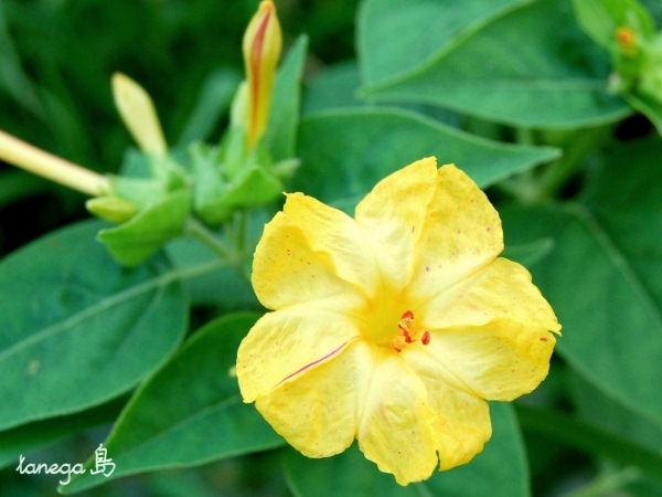 オシロイバナ 黄色