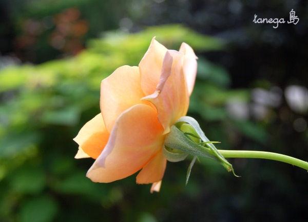 オレンジの薔薇 横向き