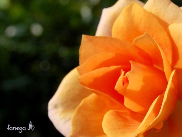 オレンジの薔薇 アップ