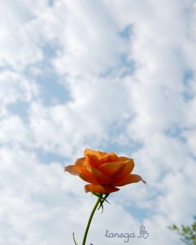 ひつじ雲と薔薇