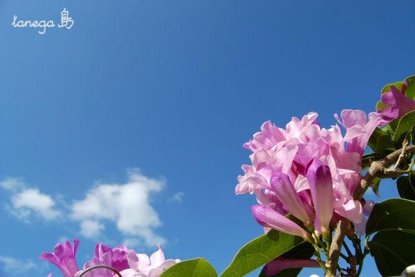 空とピンクの花