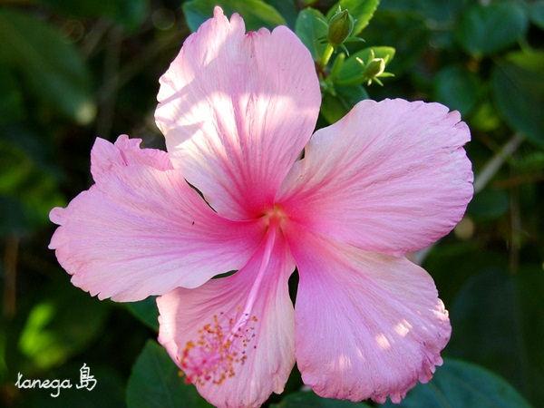 薄ピンクのハイビスカス