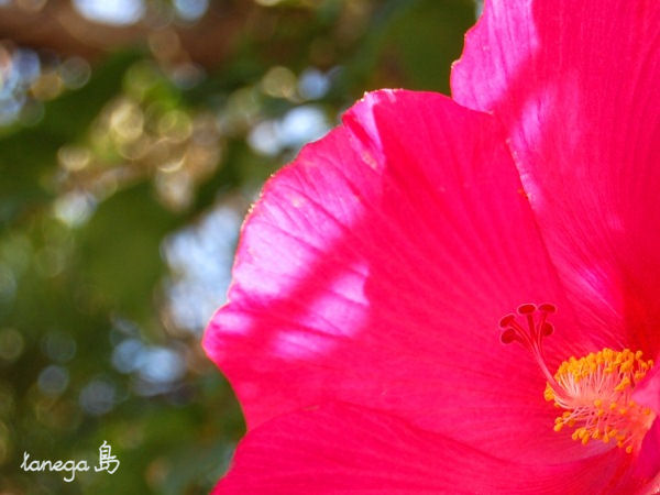 濃いピンクの芙蓉