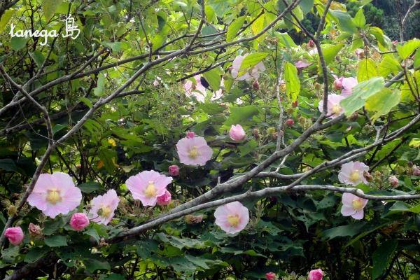 薄ピンクの芙蓉