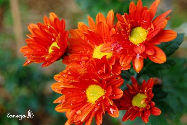 オレンジの小菊