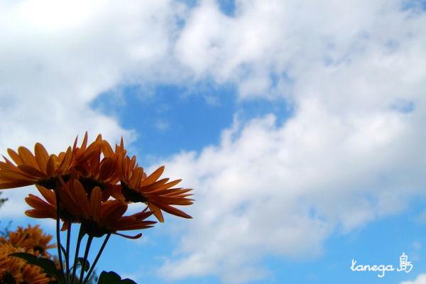 オレンジの小菊と空