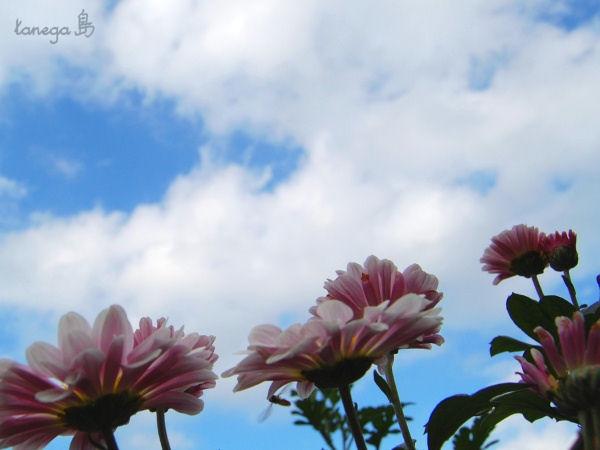 ピンクの小菊と空