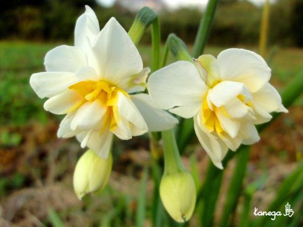八重咲きの水仙