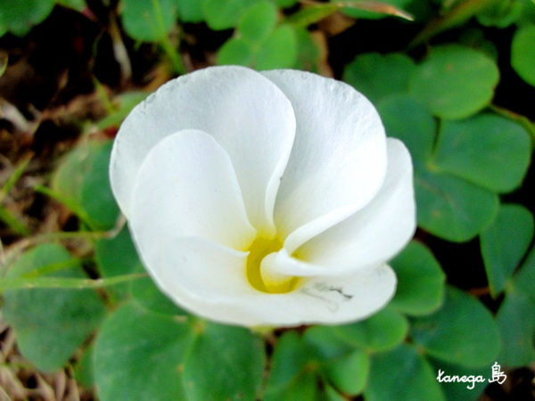 白いオキザリス