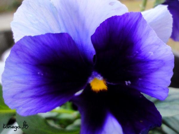 パンジー青紫