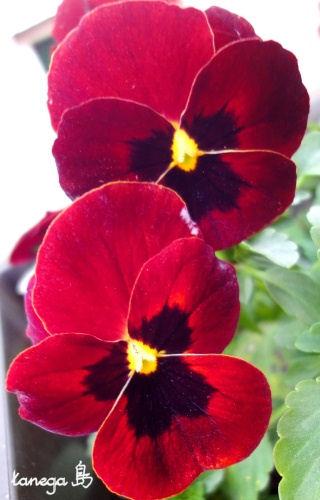 パンジー赤紫