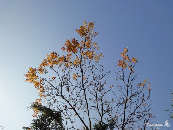ハゼの木と空