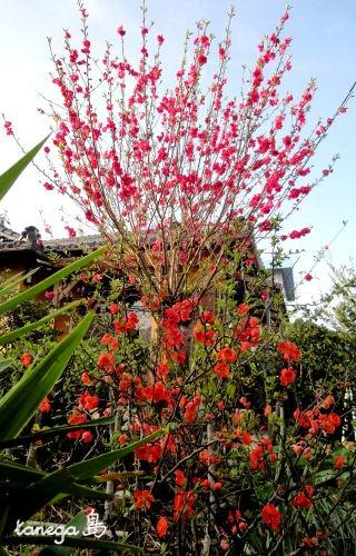 桃とボケの花