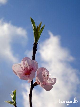 パウダーピンクの桃の花