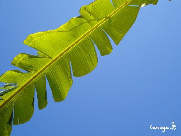 芭蕉の葉と空