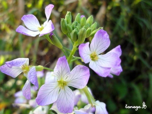 大根の花にそっくりさん