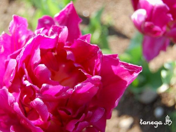紫のチューリップ