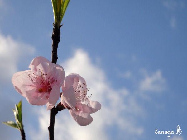 桃の花&空