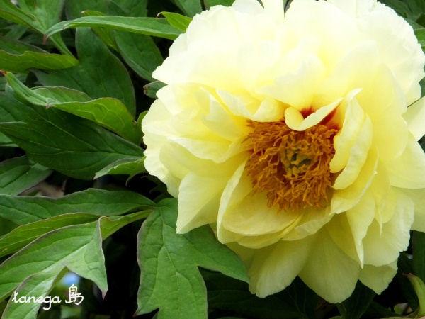 黄色い牡丹
