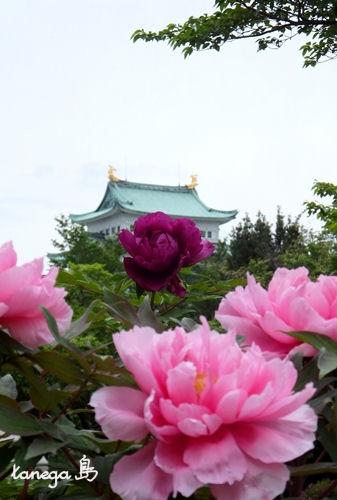 名古屋城と牡丹
