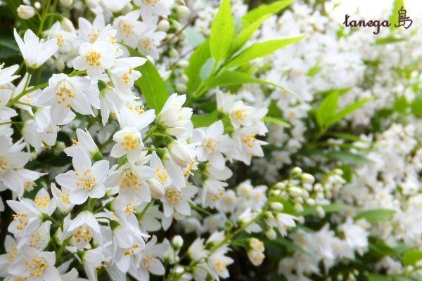 白い花が咲く木