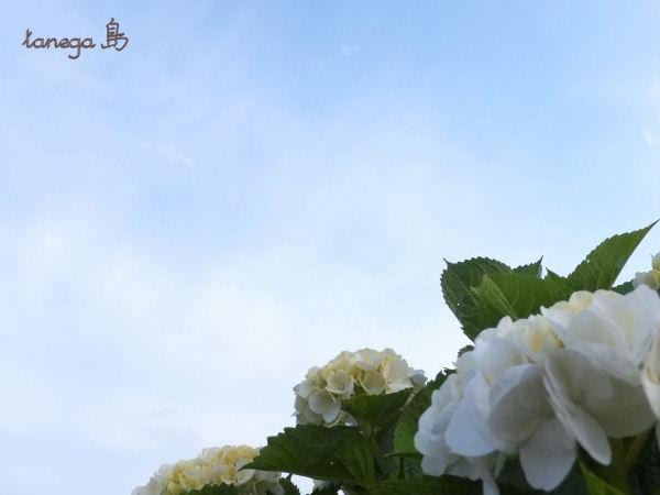 紫陽花と空