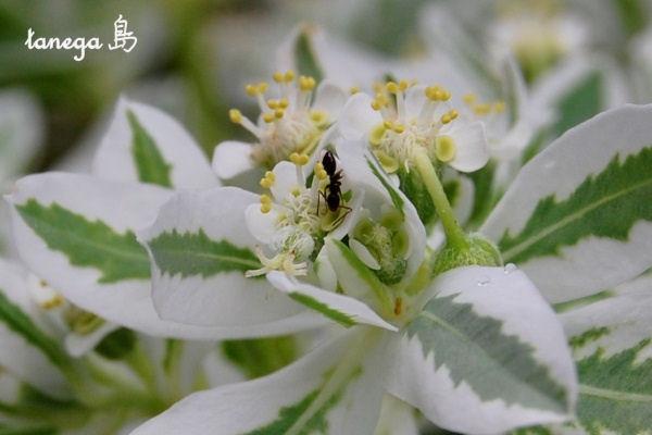 初雪草と蟻