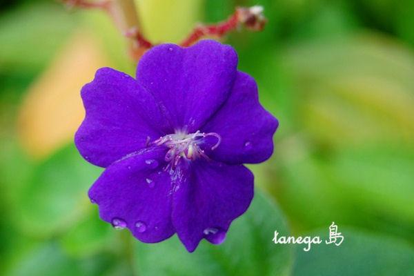 紫紺野牡丹?