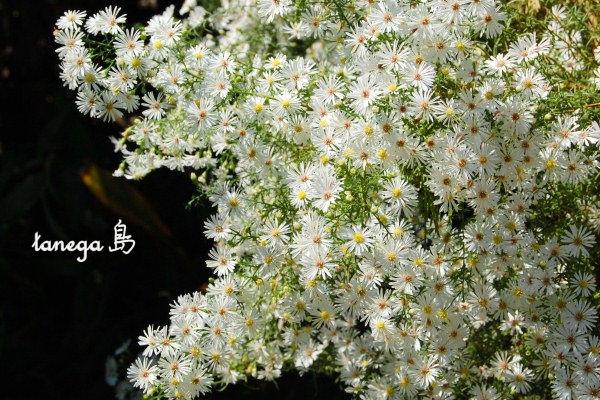孔雀草の白