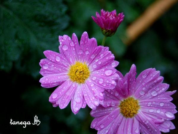 ピンクの小菊